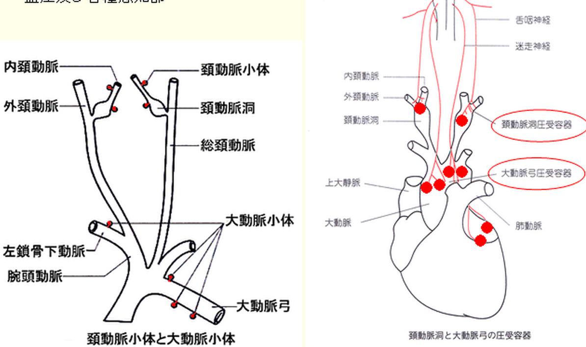 動脈 洞 頸