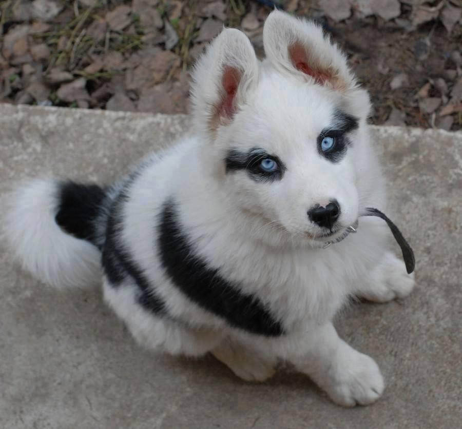 超古代犬種ヤクーチアン・ライカ...