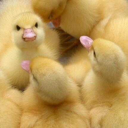 Ducklings everywhere! pic.twitter.com/zHwd0xvfoa