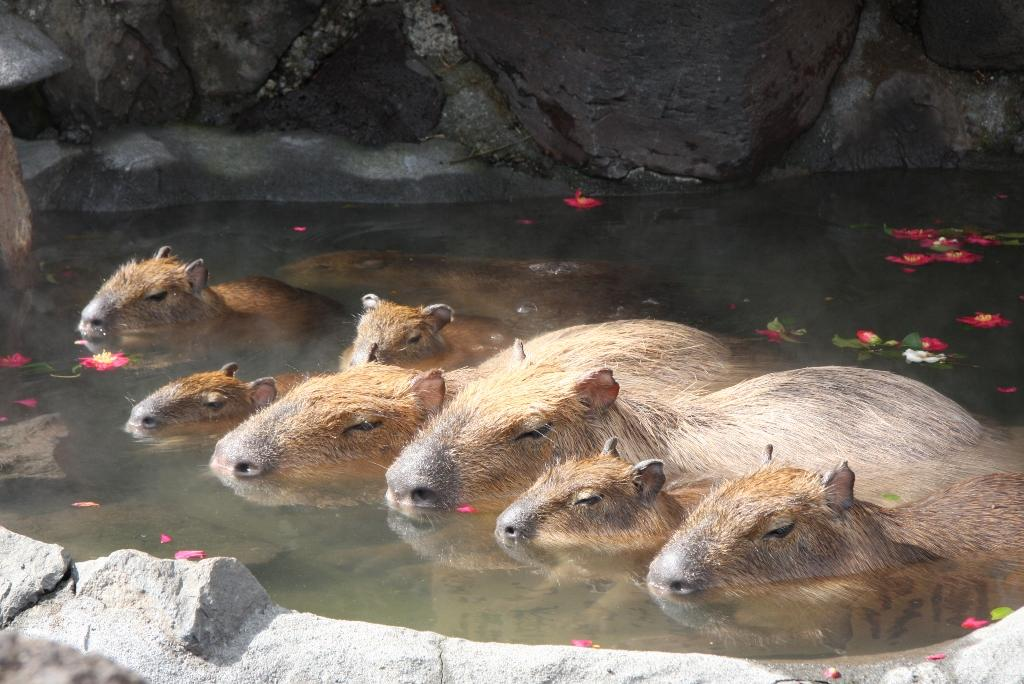 伊豆シャボテン公園では、2014 年11 月22 日(土)から2015 年4月5日(日)まで、「元祖カピバラの露天風呂」を開催いたします。みなさま、ぜひお越しください。 #shaboten pic.twitter.com/2R6D0g1puB
