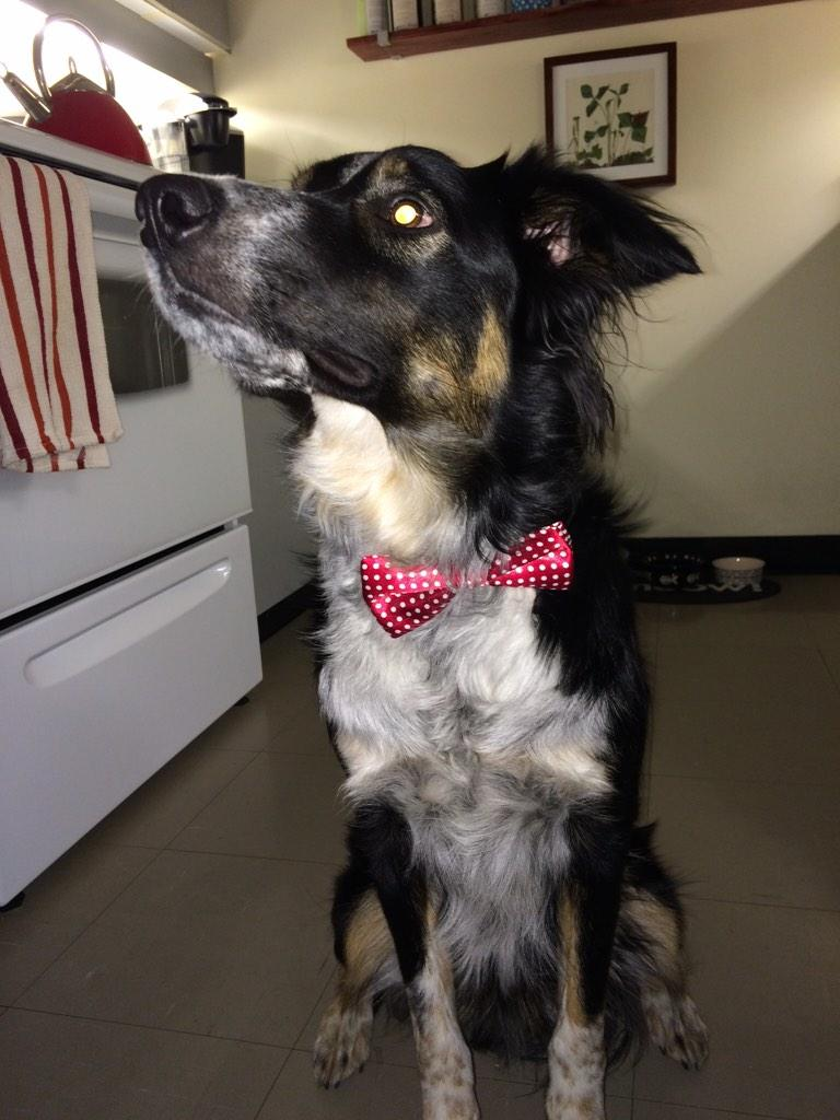 @YorkU Barnaby is ready for Red & White Day! #YUSpirit #dapperdog http://t.co/ezOQPPvPuS