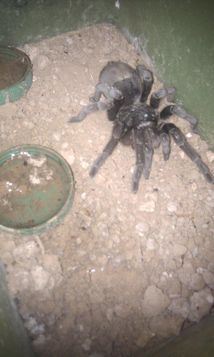 Una de las hijas de la Araña madre que colectó Juan Blengini.  Muy probablemente, una de las dos araña más viejas del mundo, junto con su hermana.