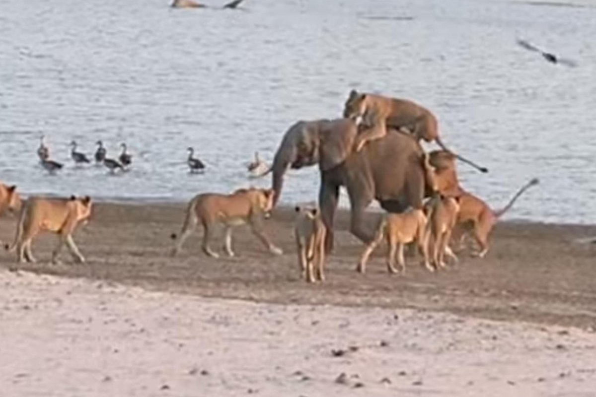 Young elephant fights 14 lions and wins! http://t.co/jzebPrix2t http://t.co/xeRZlkiaqB