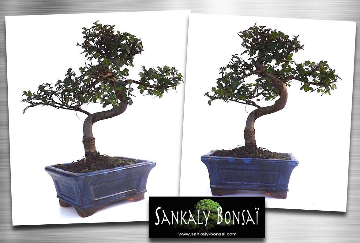sankaly bonsai on twitter bonsai orme ulmus de chine 30 cm disponible la vente en ligne. Black Bedroom Furniture Sets. Home Design Ideas