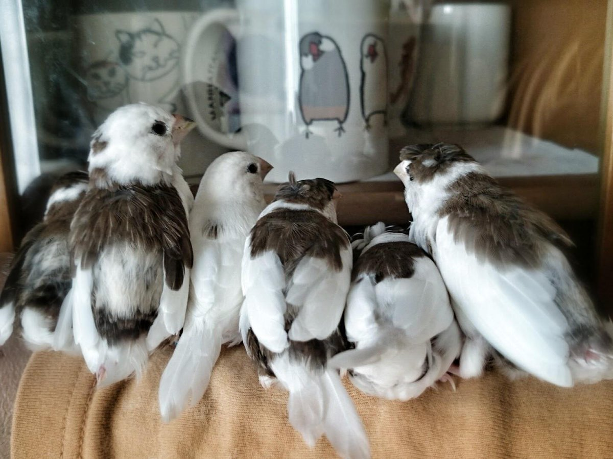 何が何でも文鳥マグカップが気になる十姉妹の皆さん。毎日やってる。なんなのこれ。 http://t.co/Xs6mX5nJlL