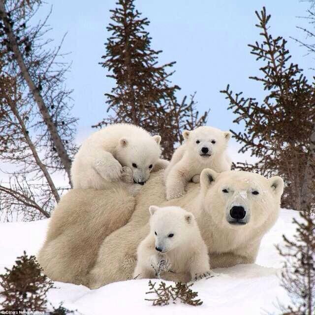 polar bear family image