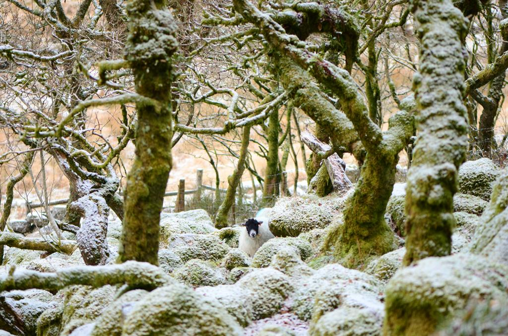 An old shot of mine but one that I never tire of - our unexpected encounter with a sheep in Wistman's Wood... http://t.co/VK3wpaRjhv