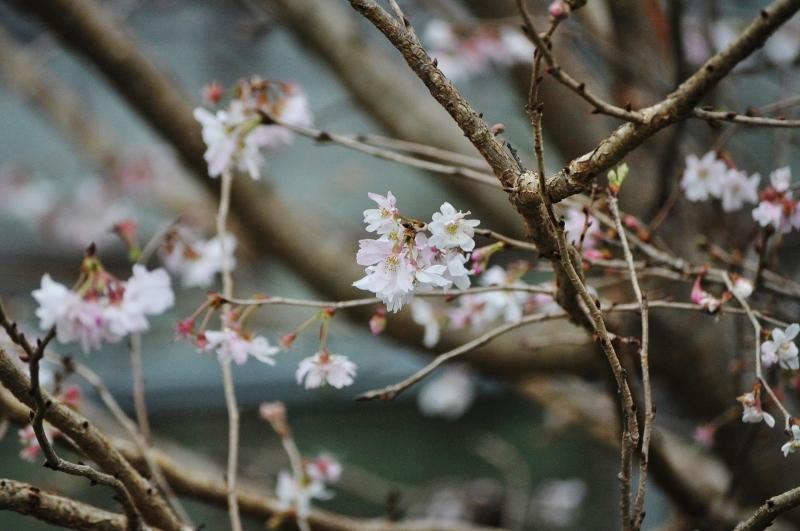 秋の桜 http://t.co/YBYA9ab9tN