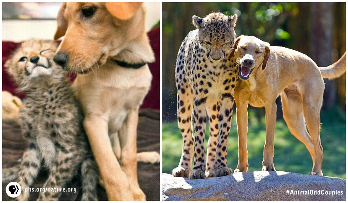 Cheetah & pup formed unlikely lifelong bond! #AnimalOddCouples is online: http://t.co/uenSv4lvYu http://t.co/VvX6kmgL8K