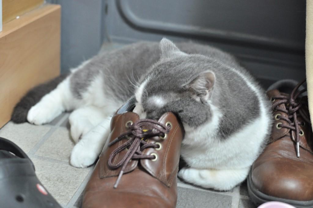 パパの靴で寝る。くんかくんか。 #ふうちゃん #猫 #猫部 #スコティッシュ