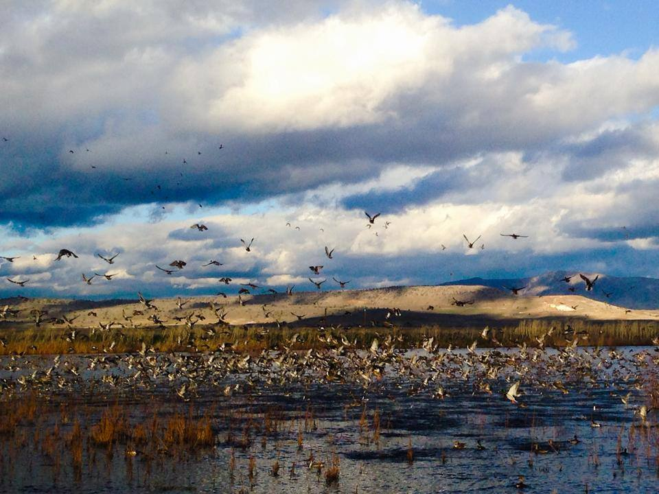 Flights Arriving Daily! Birds are funneling into Klamath Basin National Wildlife Refuge Complex Photo: A Mize/USFWS; from @USFWSPacSWest