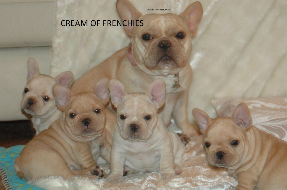 Cream French Bulldog Jennytcr Twitter