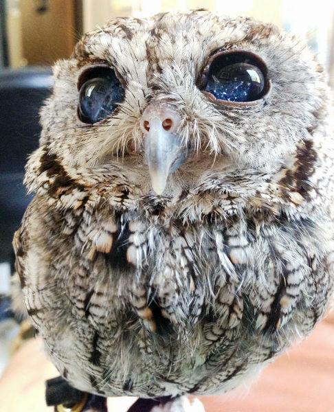 思わず息を呑む美しさ、闇夜に星々が輝く「宇宙の瞳」を持つフクロウが保護される bit.ly/1vo7BuQ世が世ならご神体として崇められるレベル pic.twitter.com/v5E2HVnkjR
