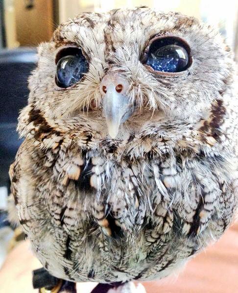 思わず息を呑む美しさ、闇夜に星々が輝く「宇宙の瞳」を持つフクロウが保護される☆ #ldnews http://t.co/ukvdCLZhhV http://t.co/tyMTyIfBW1
