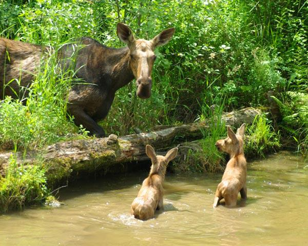 #wildlifewednesday Cutest moose twins you'll ever see courtesy of @OntarioParks #exploreCanada http://t.co/6adQ5C2hmt