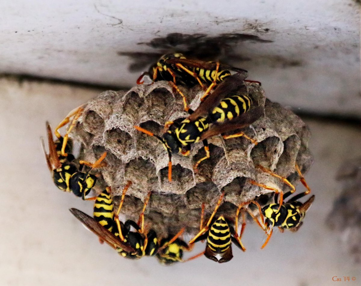 If hornets, wasps & bees were 1/10 as evil & aggressive as ... - photo#22