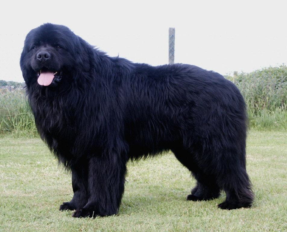 ньюфаундленд порода собак картинки