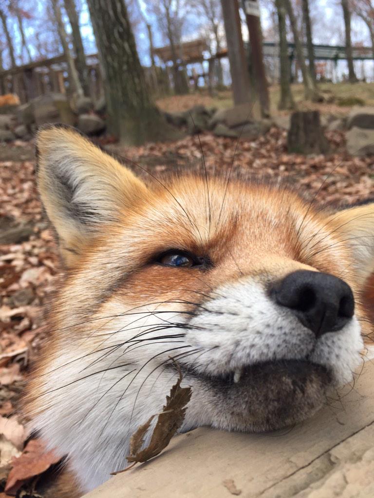 蔵王キツネ村の狐さんは人懐こいので超至近距離でもふもふ堪能出来ます(`・ω・´)ほっほっほっ pic.twitter.com/CbZ4WJlscs