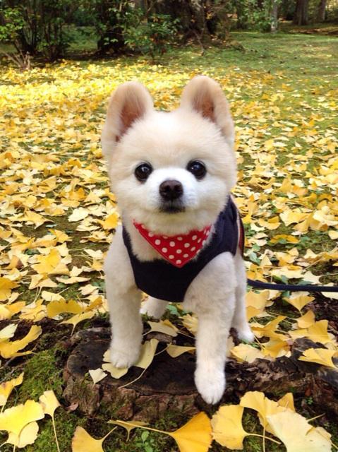 #wanko 秋真っ盛り!銀杏の下で。 pic.twitter.com/9DyjR2EVoC