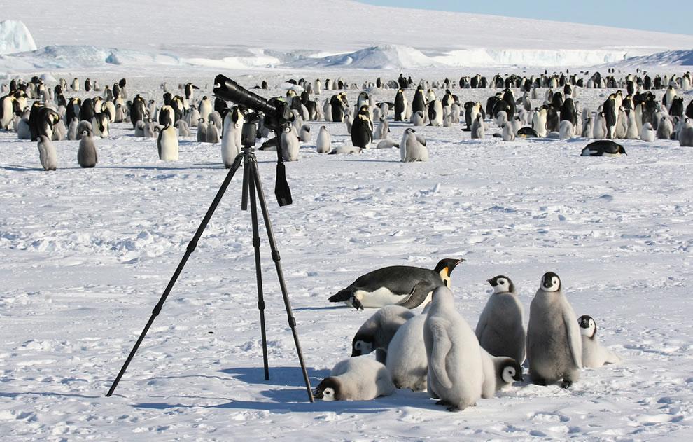 三脚の下を占拠し、我が物にしようとするコウテイペンギンのヒナの図 (ヒナが自主的にどかないと南極条約議定書の都合上、三脚を撤去することができない) pic.twitter.com/SF4g2jgdw1