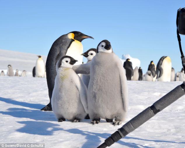 肩を組んでポーズをつけるコウテイペンギンのヒナの図 pic.twitter.com/qE18xaOXaZ