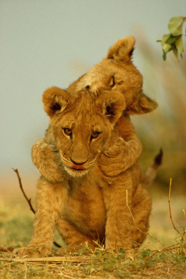 Why spend your life protecting lions? Ask @dereckbeverly about it on 12/3 #BigCats http://t.co/vVlzirkJnB http://t.co/ZsZppIdYdP