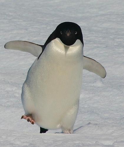 こうアデリーペンギンは慌てると同じポーズになるのが楽しい pic.twitter.com/HAaQ8mT5Vt