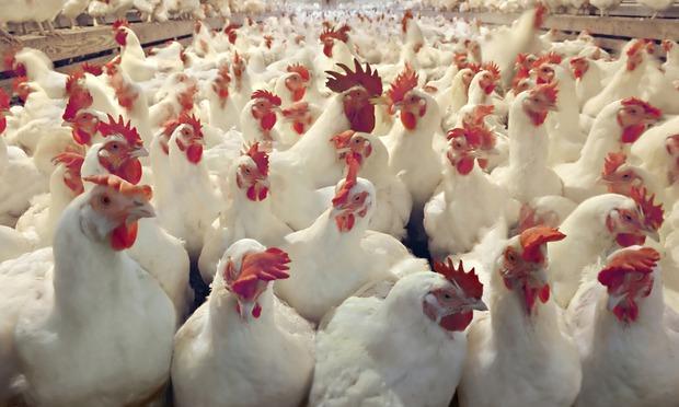 Allarme polli Gran Bretagna: batterio contamina la carne
