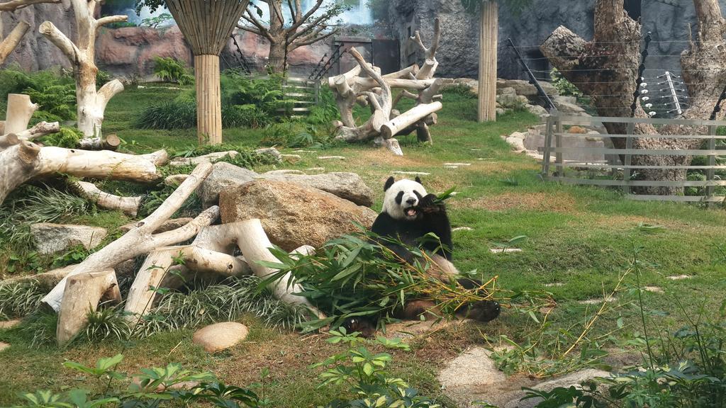 Kaikai sedang asyik melahap daun bambu