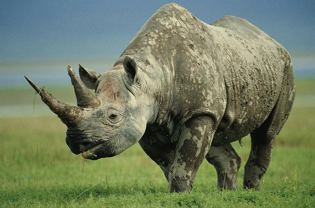 Sign this petition to prevent black rhino (EDGE mammal 11) imports to the US. http://t.co/9CPe322Vij. http://t.co/gNBwUsiEpI