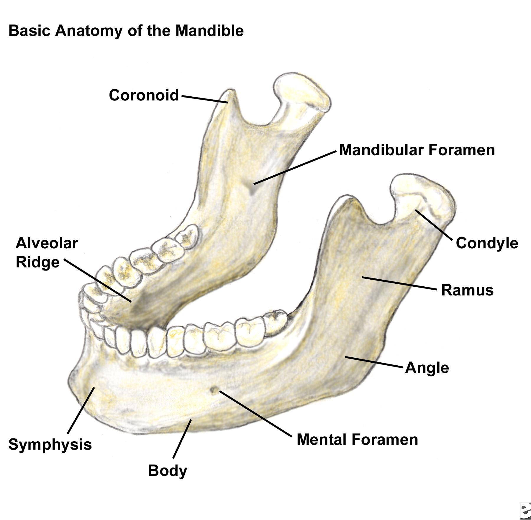 mandible anatomy - Selo.l-ink.co