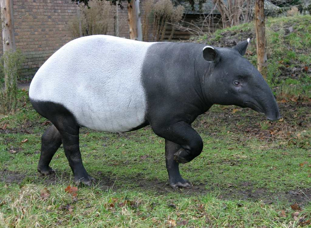 Great news! A Malayan tapir (EDGE mammal 20) has been born at kent zoo. http://t.co/ndTyHOGv1z http://t.co/YnQU6EjDod