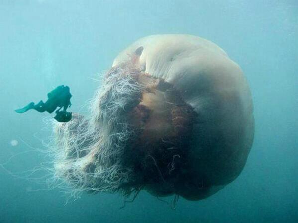 melena de leon medusa
