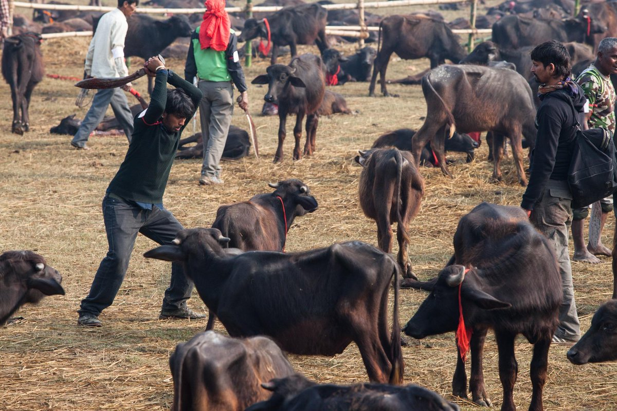 #Gadhimai festival is appallingly cruel. Tell the Nepalese government: #NeverAgain http://t.co/KbgxbRdoEu http://t.co/gW22y3NcBc