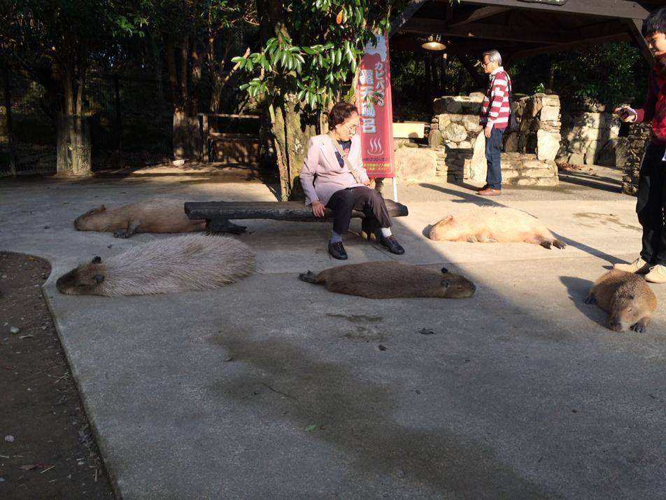 Q:長崎バイオパークって動物園、もしかしてカピバラ触れるんですか!? A:触れるどころの騒ぎではない  https://t.co/lYfCOjNp5B