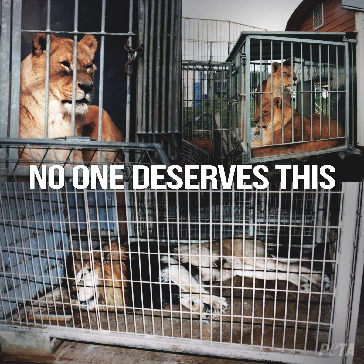 wild animals should not be caged and displayed for entertainment Gt writing task 1 writing task 2  i think that wild animals should live in their  the situation were animals and birds are caged and displayed to feed human.