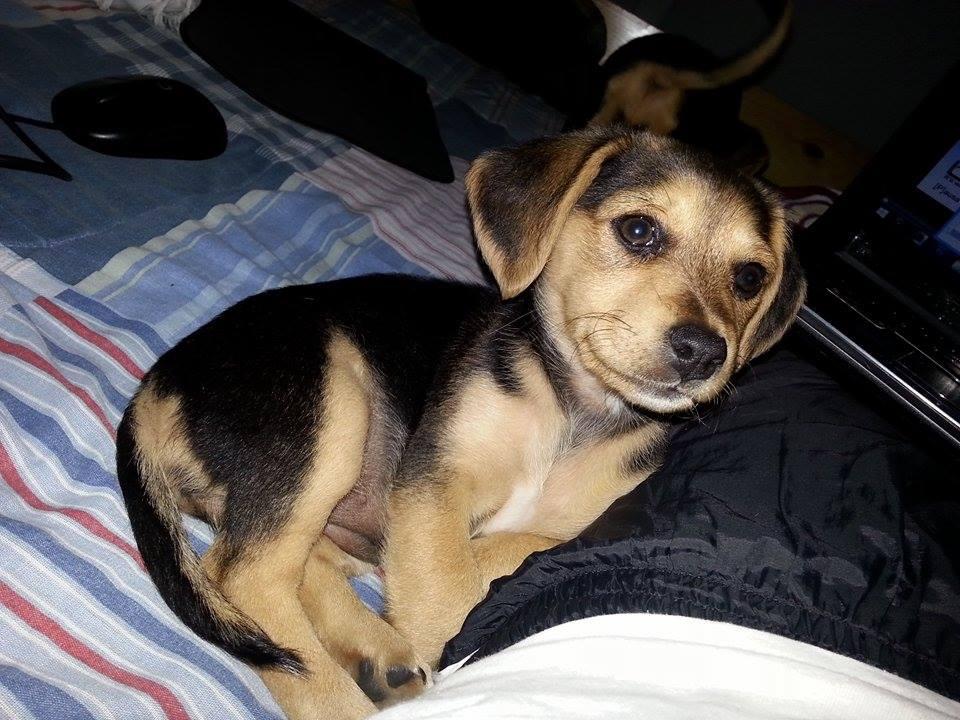 Un amigo recogió a una perrita preñada y ahora está consiguiéndole dueño a las crías. Esta cachorrita linda! RT http://t.co/qJACCPbawA