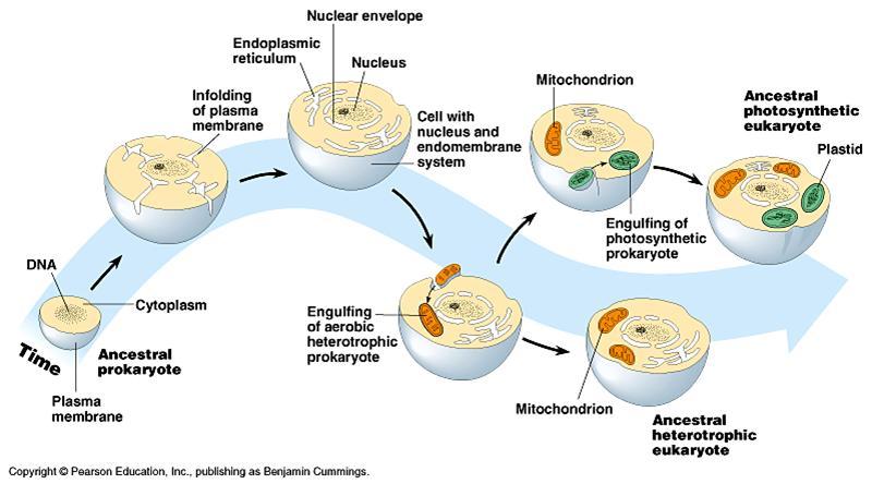 Mitocondria y cloroplasto surgieron x incorporación de bacteria aerobia y cianobacteria fotosintética #microMOOC http://t.co/UPkLaVPhSp