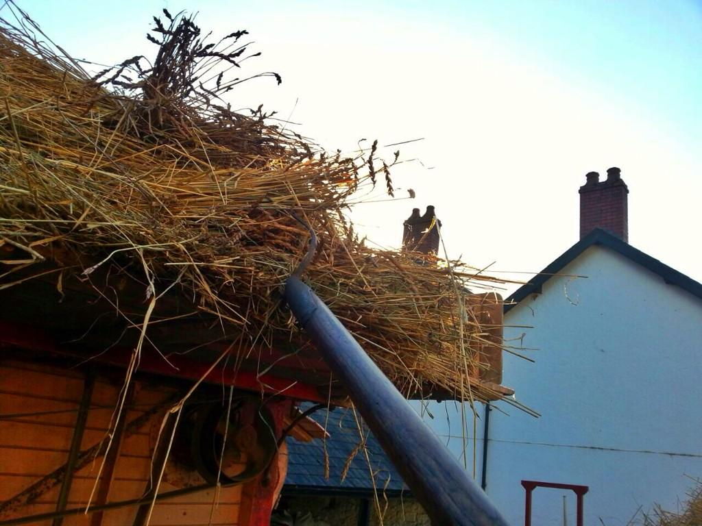 Felt like I was in a Thomas Hardy novel today helping with threshing! The spelt is for the roof of #BrynEryr http://t.co/aBgS5ixJNX