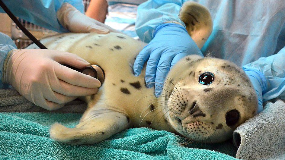 BBC พาไปดูศูนย์อนุบาลแมวน้ำกำพร้าในอังกฤษ >>> Nursing sick orphaned seal pups back to sea http://t.co/ZOtf07nKq3 http://t.co/ObUyQ4Ks76
