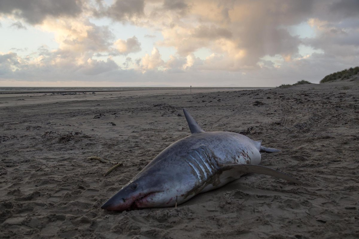 10ft-long Mako shark found washed up on north Wales beach http://t.co/k7N1ikgthu http://t.co/pTNmxUpXvS