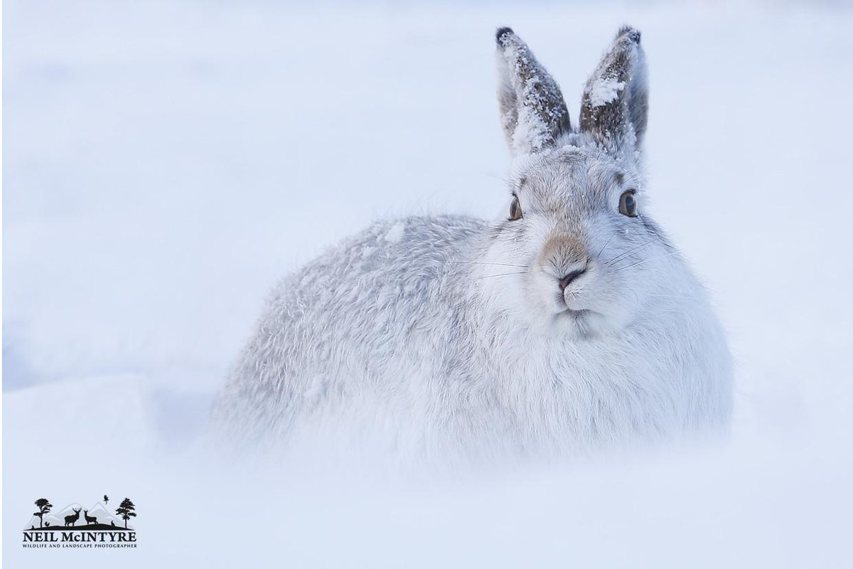 Snowy mountain hare portrait from today, first snow fall of winter on low ground so had to try make most of it :-)