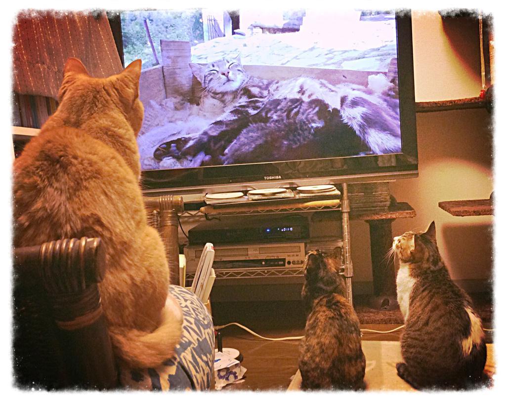 NHKの「岩合光昭の世界ネコ歩き」という番組、猫視聴率がスゴイというので、こないだから録画して見たが、たしかに食いつきがスゴイなw。今日で二回目だが、3匹ともカブり付き。 http://t.co/uoKmE9mT8S