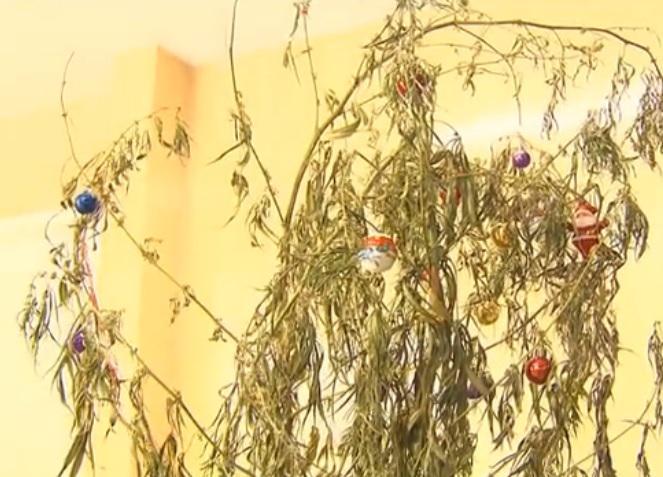 7238fada29 Ladrão decora pé de maconha como árvore de Natal e é preso no Paraná. http