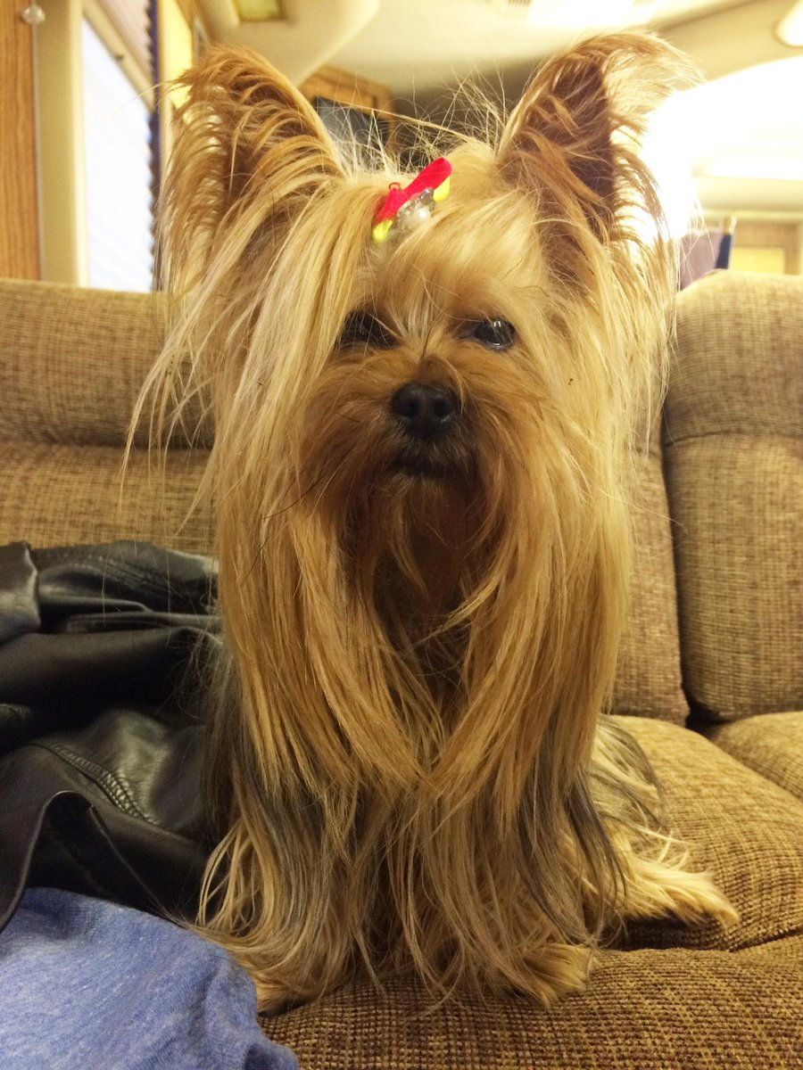 Cesar Millan On Twitter Chewbacca Or The Footstool From Beauty And The Beast Cast Your Vote Http T Co 6xnhhctfx4