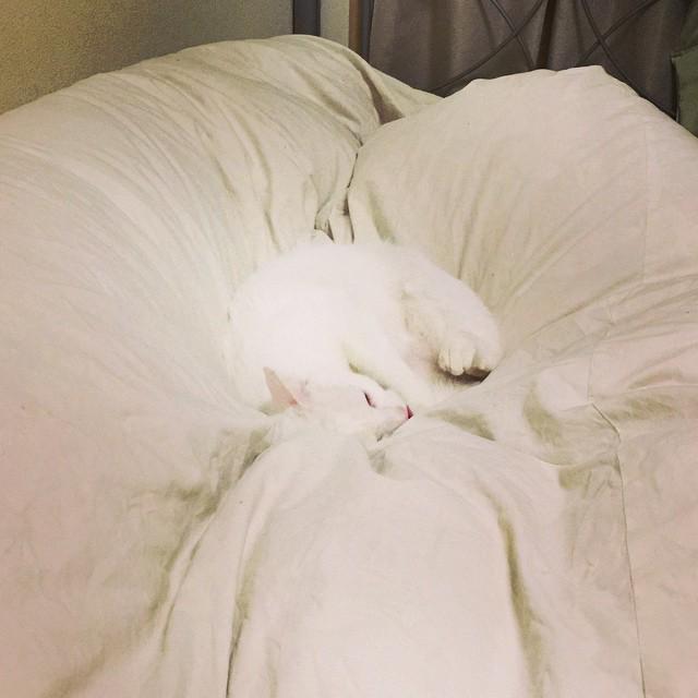 さて麿白、寝ようか。今日も1日お疲れ様でした。明日もまた生きんぞ。#猫 #ぬこ #ねこ部 #ねこ #catstagram #cat #instacat