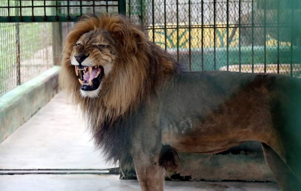 25  best ideas about El tigre animal on Pinterest | Leo el leon ...