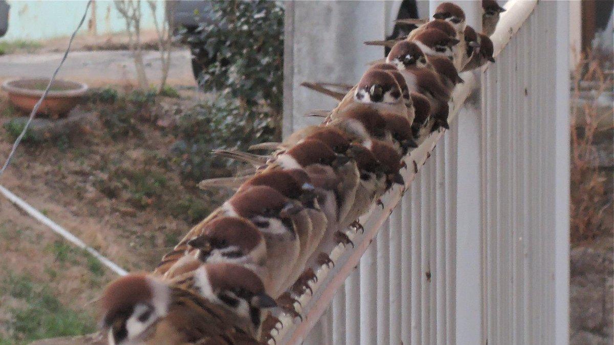 今朝のスズメたち、相変わらずで、晴れて氷点下まで冷え込む中、手摺に勢揃いして押しくらまんじゅう。少しは暖かくなったでしょうか? pic.twitter.com/cenk9r8G2p