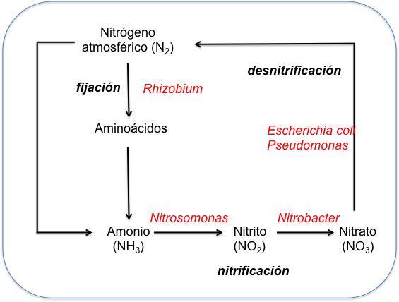 Ciclo del nitrógenos y bacterias: fijación, nitrificación y desnitrificación #microMOOC http://t.co/izqaZJgYfy