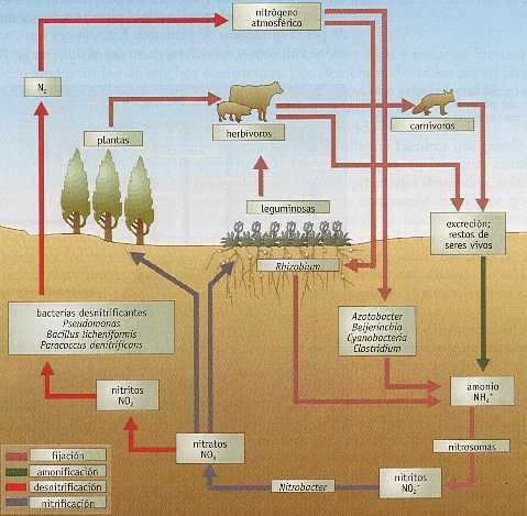 ¿Qué microorganismos intervienen en el ciclo del nitrógeno? #microMOOC http://t.co/1HG2qEqZW3